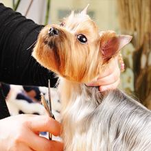 Yorkie getting groomed