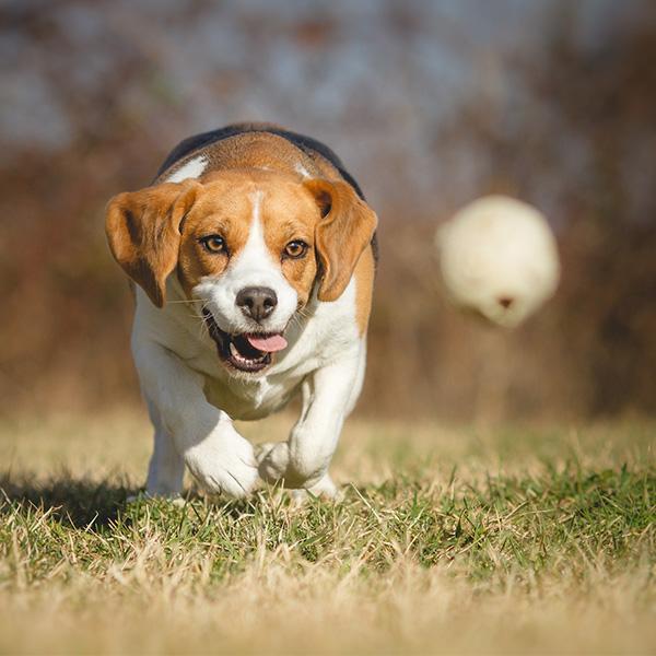 Beagle chasing a ball
